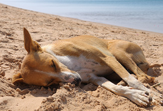 Dog is sleeping on the sand near Red Sea